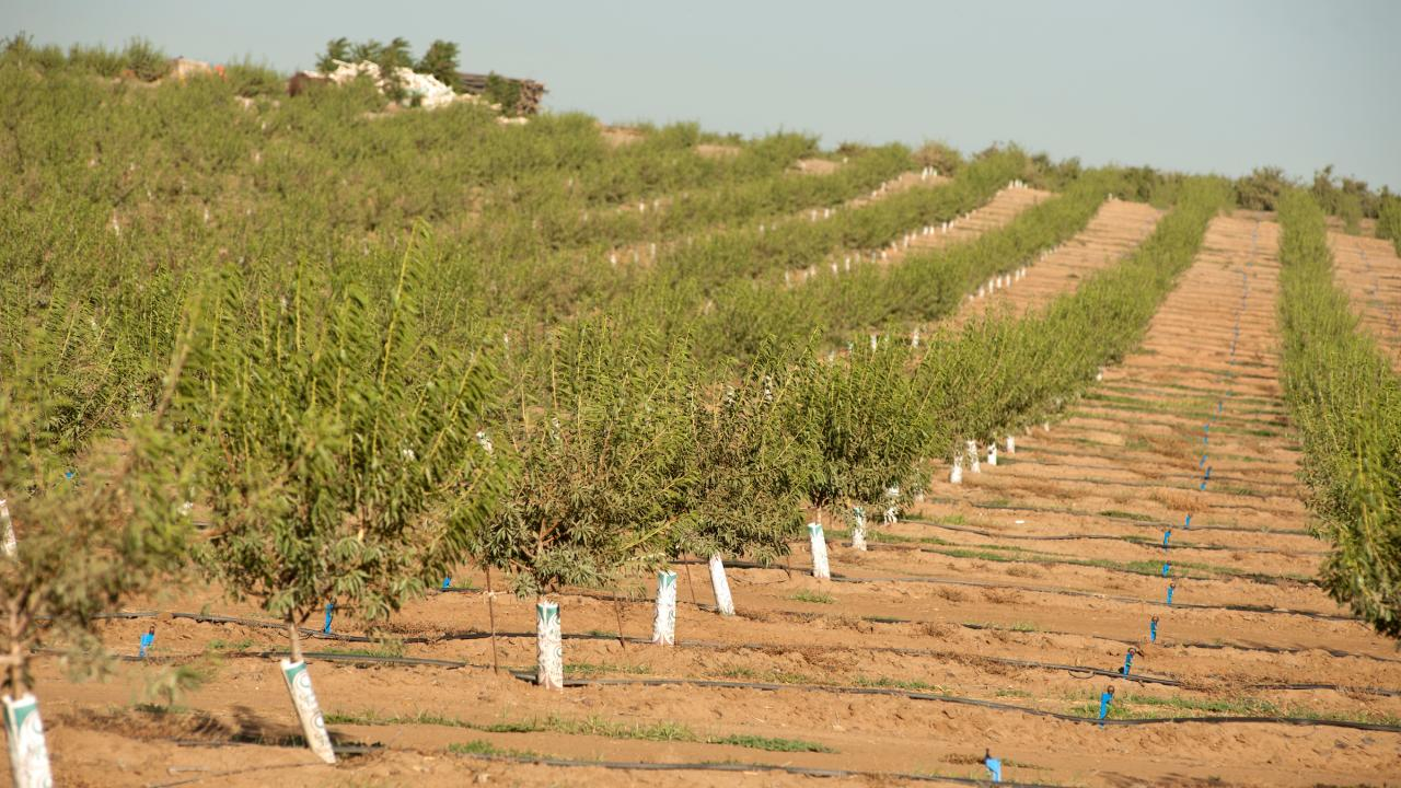 Young trees are planted in an orchard
